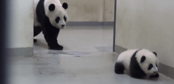 panda escapes nap