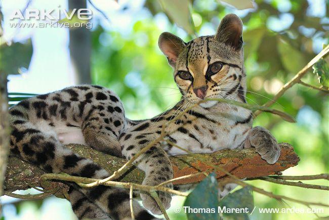Fakename's Animal Planet:  Wild Cats