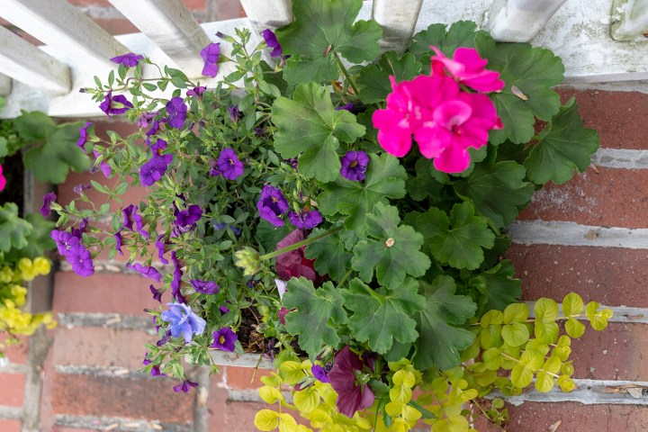 Spring planter arrangement ideas with superbells and geraniums