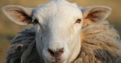 Sauefjerting i fårikålens tid. Klima-astrologene med nye skremsler
