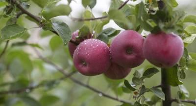 Россия закупит яблоки у сирийских фермеров