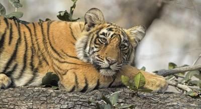 Жители Индии задавили тигрицу трактором