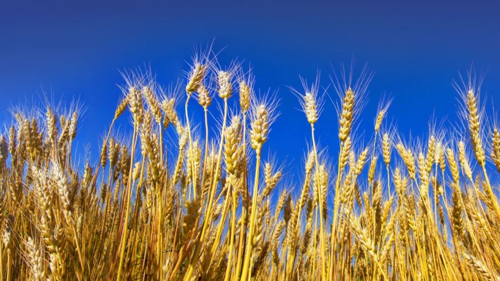 Україна посіла друге місце у світі за обсягом експорту всіх зернових культур – Мінекономіки