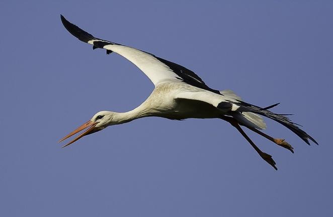 Flygande Stork