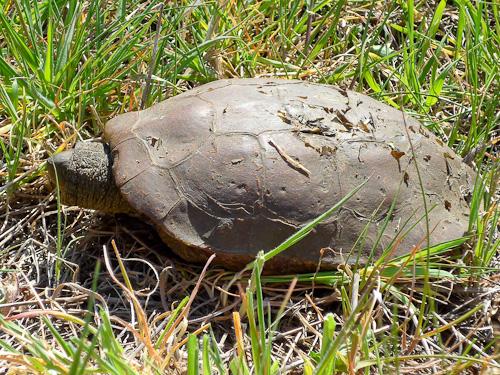 Obestämd skölpadda... vem vet vad det är?