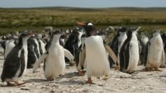 Gento Penguins on Falklands/Malvinas Islands. Photo by chrispearson72 at FlickR