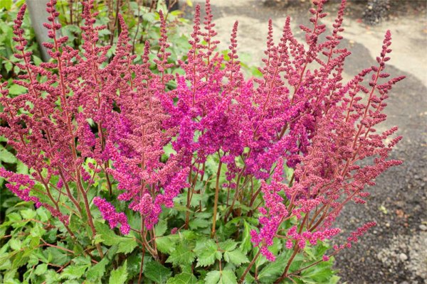 Astilbe chinensis 'Vision In Red'