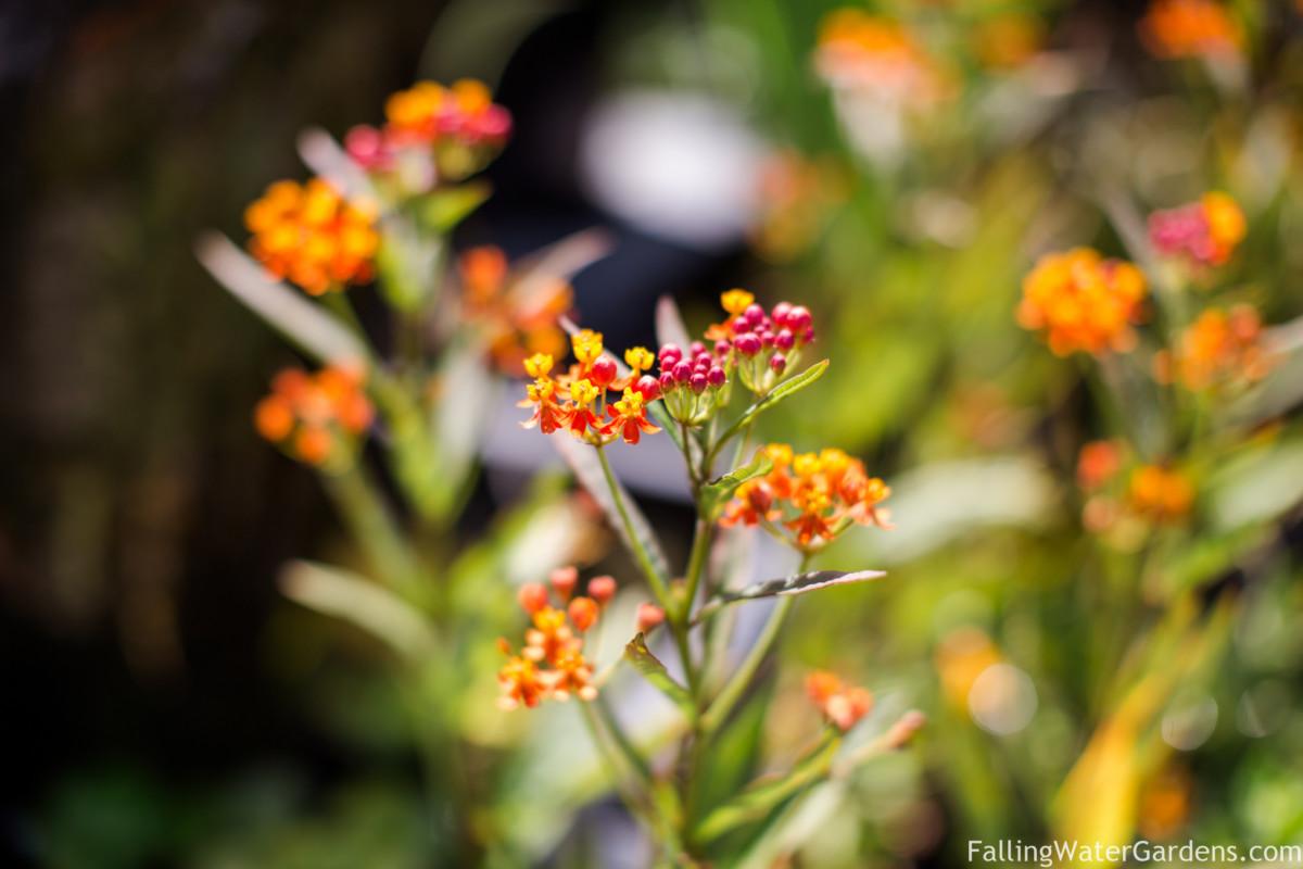 https://i0.wp.com/fallingwaterdesigns.com/plants/wp-content/uploads/2020/07/tropical_milkweed_Falling_Water_Gardens_monroe_washington.jpg?fit=1200%2C800