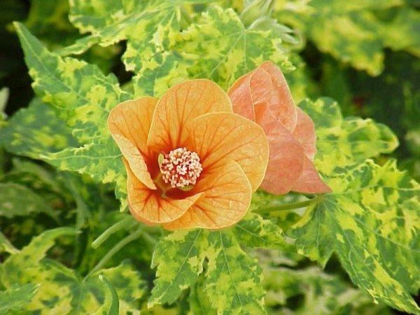 Abutilon 'Variegated Peach'