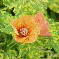 Abutilon 'Variegated Peach'