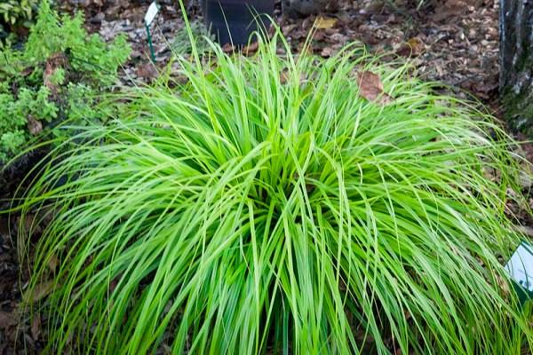 Carex-oshimensis-Everillo