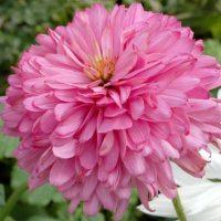 Echinacea purpurea 'Pink Poodle' 1