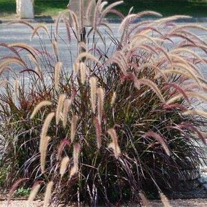pennisetum setaceum rubrum falling water gardens plants. Black Bedroom Furniture Sets. Home Design Ideas