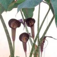 Arisaema speciosum magnificum 1