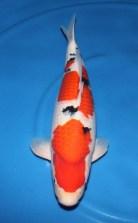 Sanke Koi Fish