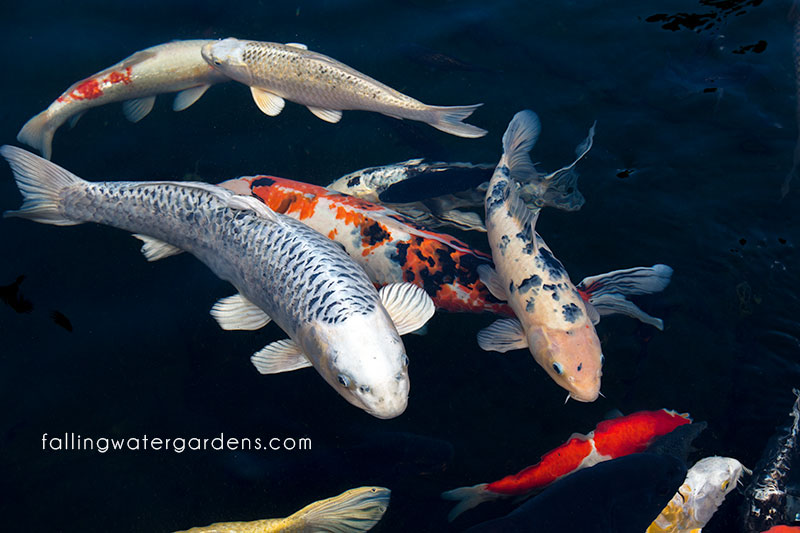 Falling water designs pond and fish care during freezing for Koi pond temperature
