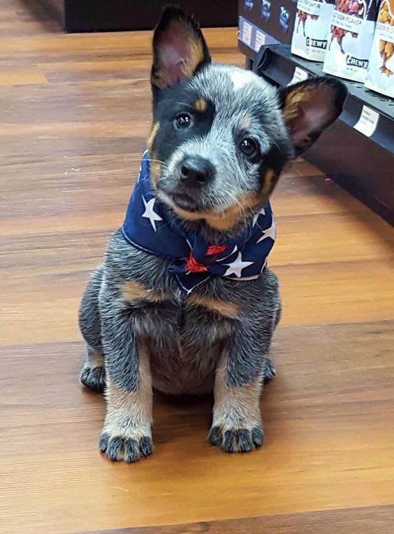 australian cattle dog with cats