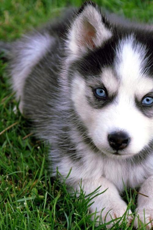 Cute Baby Bulldog Wallpaper 18 Cute Dog Puppies With Blue Eyes Fallinpets