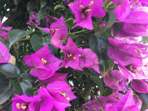 Bougainvillea up close. Photo by Nora.