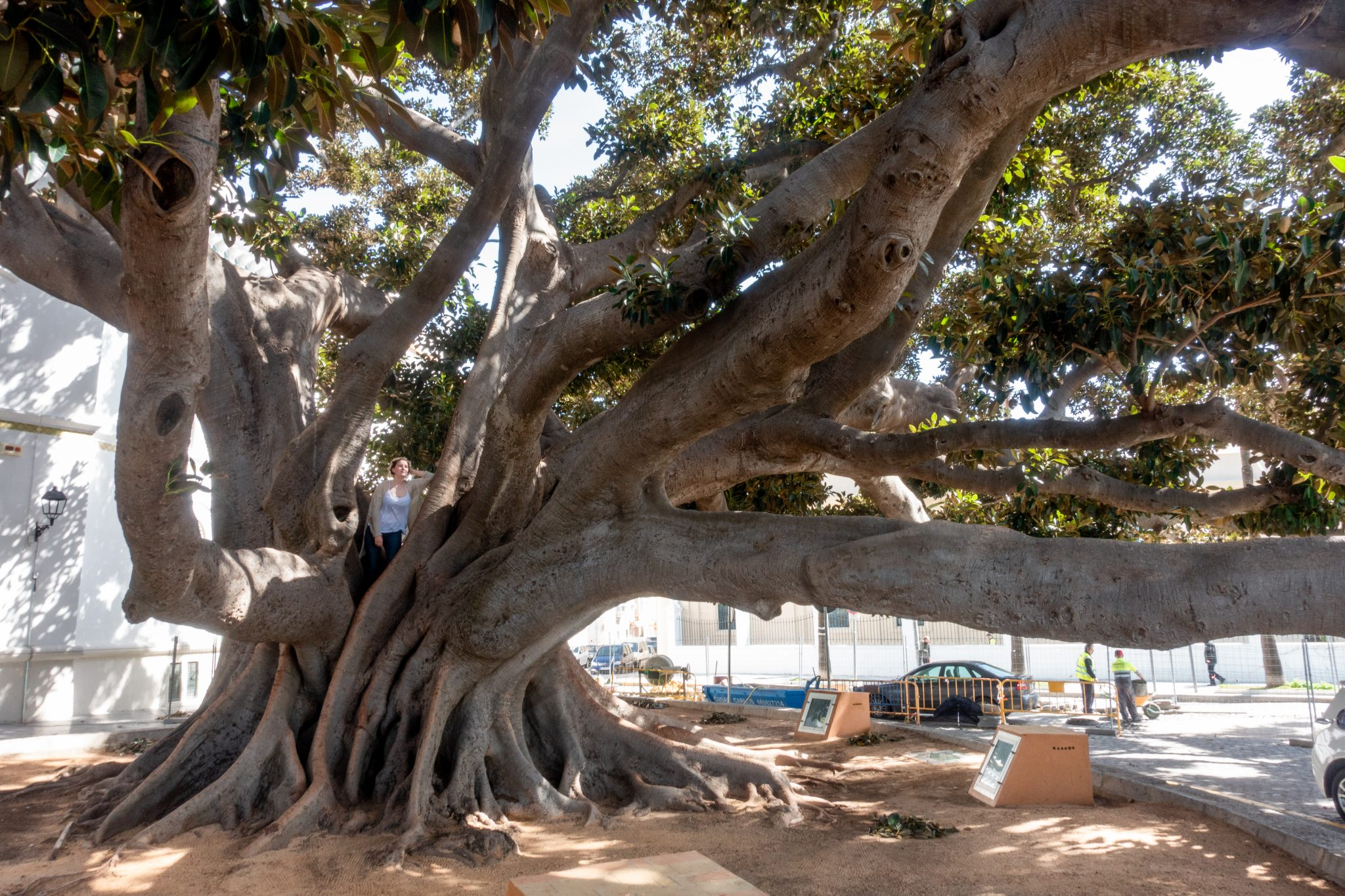 7-kleine-geheimtipps-cádiz-gummibaum