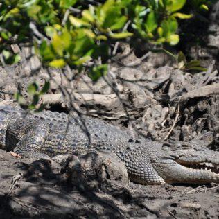 (C) Jule Reiselust: Krokodilsichtung am Flussufer im Daintree Nationalpark
