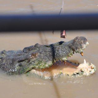 (C) Jule Reiselust: Krokofütterung auf dem Adelaide River