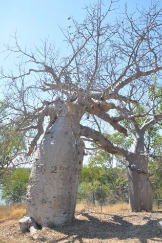 (C) Jule Reiselust: Gregorys Tree - Affenbrotbaum mit Reparaturdaten der Tom Tough, dem europäischen Expeditionssxhiff unter Gregory