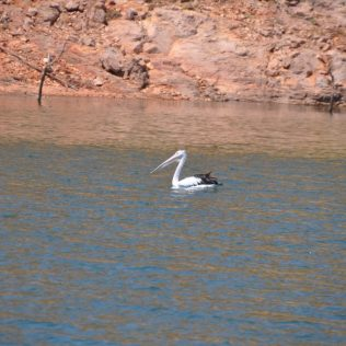 (C) Jule Reiselust: Pelikan auf Lake Argyle