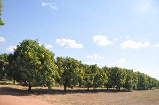 (C) Jule Reiselust: Farmlanf rund um Kununurra - hier: Mangofarm.
