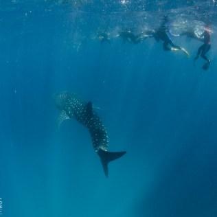 (C) Jule Reiselust: Der Walhai schwimmt an uns vorbei.