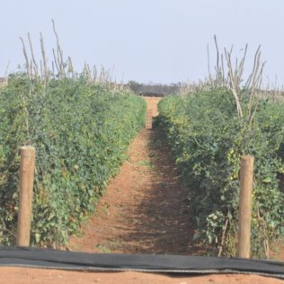 (C) Jule Reiselust: Feld mit Tomaten am Fruit Loop in Carnavon.