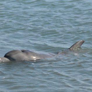 (C) Jule Reiselust: Die Delphine auf Monkey Mia kommen täglich für eine Fütterung zum Strand.