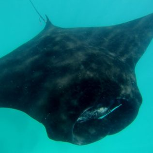 Mantarochen in Coral Bay.