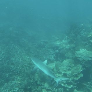 Riffhaie in Coral Bay.