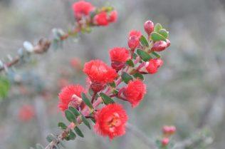 (C) Jule Reiselust: Scarlet Featherflower