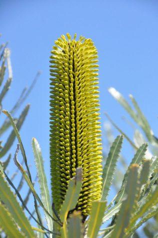 (C) Jule Reiselust: Blüte der Banksia