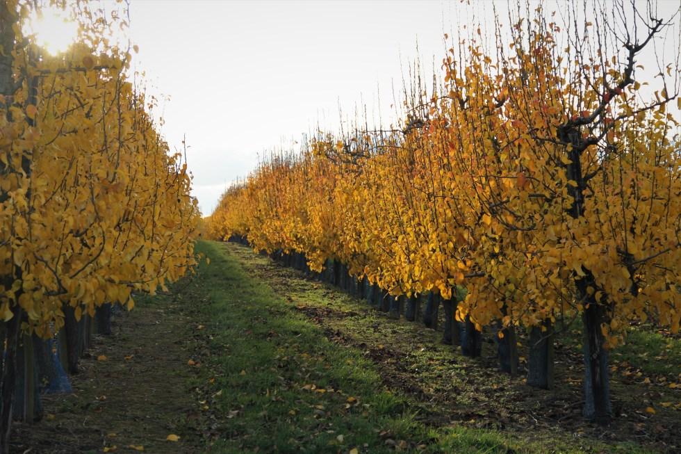 Apfelbäumeherbst