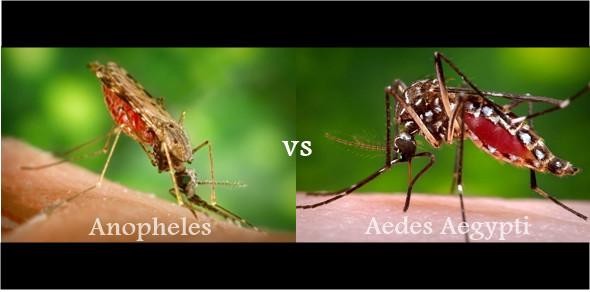 beda nyamuk malaria dan DBD