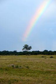 antiloper under regnbåge