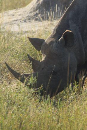 noshörning betar