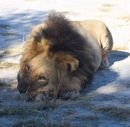 trött lejon