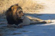 trött och mätt lejon