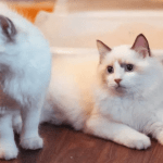 choose the right sex of cat or kitten