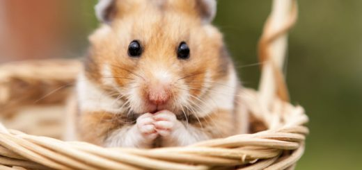 picking the right hamster