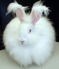 The German Angora Rabbit