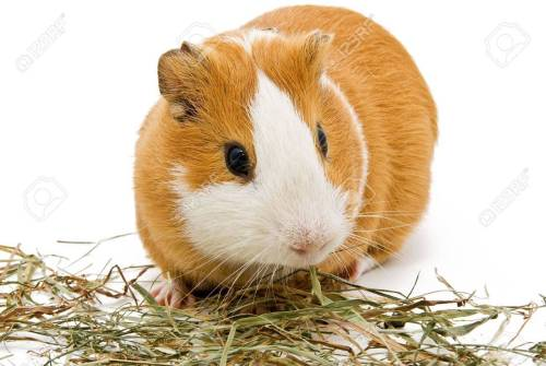 Food that Guinea pig should eat every day