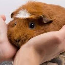 when could you pick-up your Guinea Pig ?