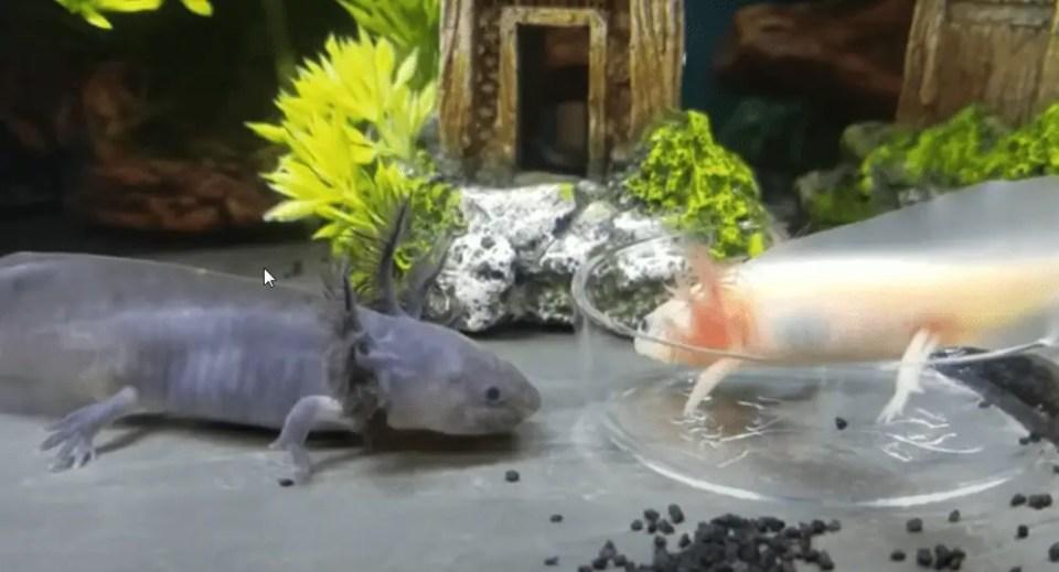 axolotls needs and aquarium set up