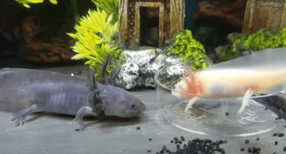 axolotls needs and aquarium set up