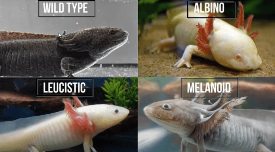 what are the different species of axolotls